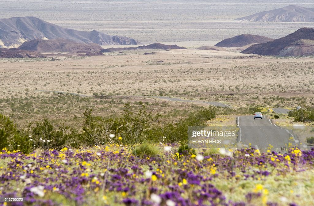 Wildflowers line a road in Death Valley National Park, in Death Valley, California, March 3, 2016. Unusally heavy rainfall in October trigged a 'super bloom,' carpeting Death Valley National Park, the hottest and driest place in North America, in gold, purple, white and pink. The bloom is the parks largest in a decade. / AFP / ROBYN