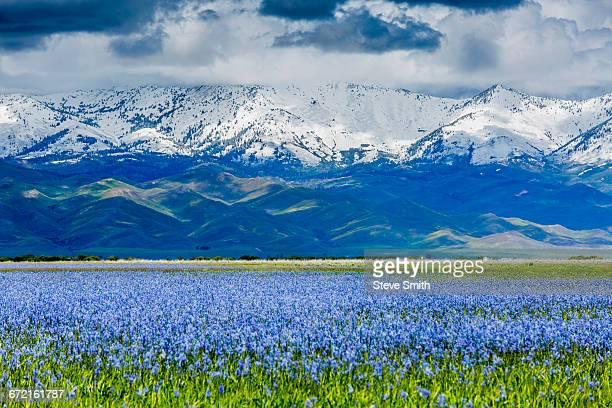Wildflowers near snow covered mountain range