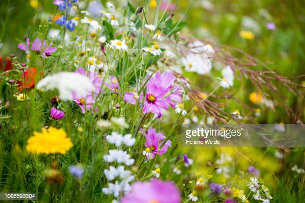 wildflowers - uncultivated stock pictures, royalty-free photos & images