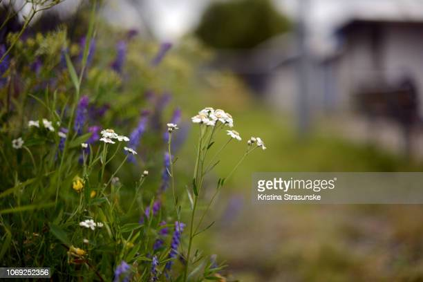 wildflowers - kristina strasunske stock photos and pictures