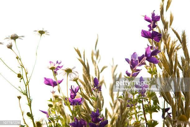wildflowers - fleurs des champs photos et images de collection