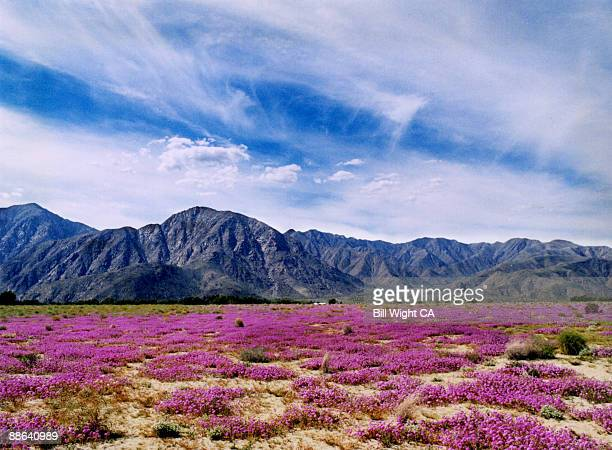 wildflowers - anza borrego desert state park stock pictures, royalty-free photos & images