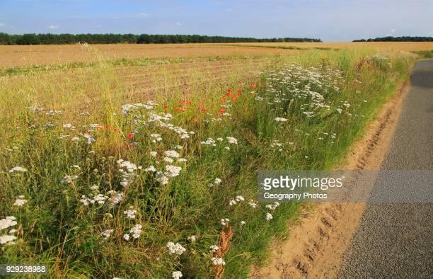 Wildflowers roadside verge of field Boyton Suffolk England