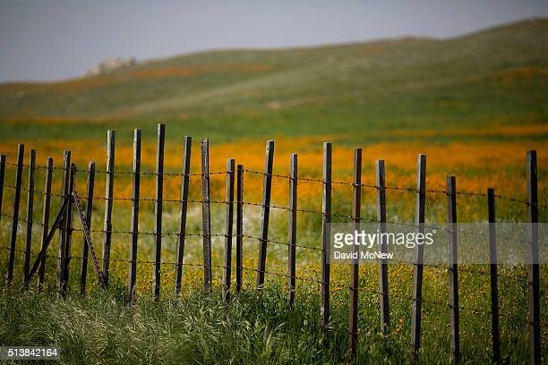 Wildflowers surround a fence near California State Route 223 on March 4 2016 west of Tehachapi California Despite hopes that the major El Nino effect...