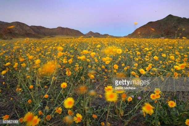 Wildflowers wave in the breeze after sunset near Jubilee Pass March 12 2005 in Death Valley National Park California The wettest year on record has...