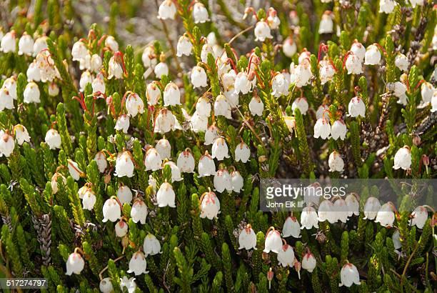 Wildflowers, White heather