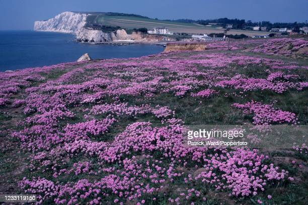 Wildflowers, with chalk cliffs beyond, at Freshwater Bay on the Isle of Wight, circa August 1996.