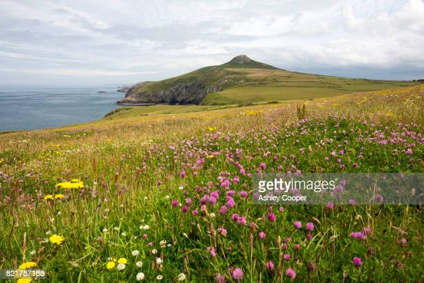 a wildlflower meadow on the penbrokeshire coast looking towards penberry near st davids, wales, uk. - meadow stock pictures, royalty-free photos & images