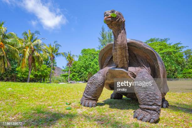wildlife aldabra giant tortoise (aldabrachelys gigantea) on the turtle island curious , seychelles island - seychelles stock pictures, royalty-free photos & images