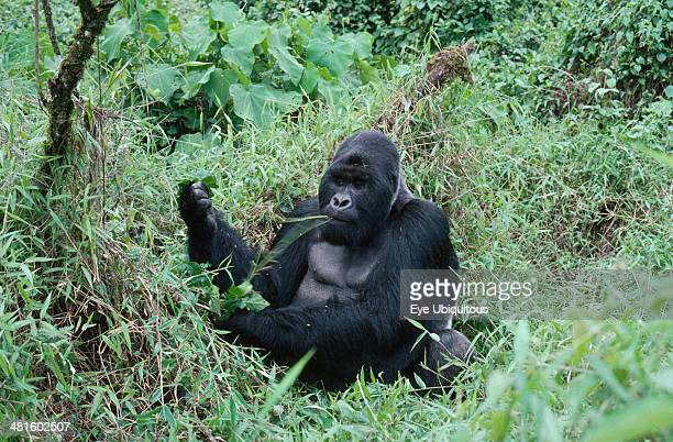Wildlife, Apes, Gorillas, Mountain Gorilla sitting on the ground eating at Virunga National Park Zaire.