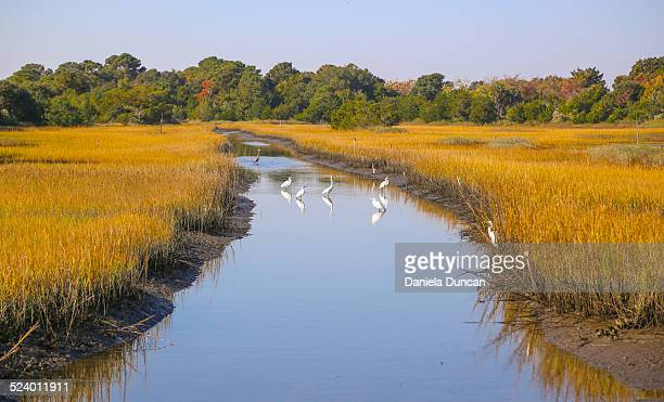 wildlife at kiawah island - template_talk:south_carolina stock pictures, royalty-free photos & images
