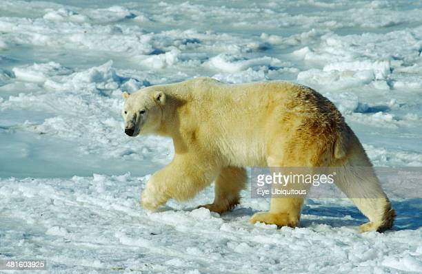 Wildlife Bears Polar Bear walking on snow at Hudson bay near Churchill Canada
