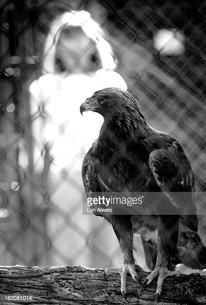 OCT 13 1989 NOV 3 1989 Wildlife biologist Kathy Fagerstone stands outside the cage of one of the Golden Eagles