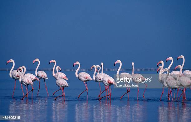 Wildlife Birds Flamingoes Colony of birds wading in shallow water of salt pans in Walvis Bay Namibia