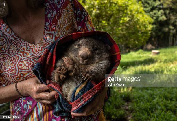Wildlife caregiver holds an orphaned wombat at the Native Wildlife Rescue center on January 29, 2020 in Robertson, Australia. The center has taken in...