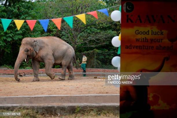Wildlife caretaker takes care Kaavan, Pakistan's only Asian elephant,during his farewell ceremonybefore travelling to a sanctuary in Cambodia later...