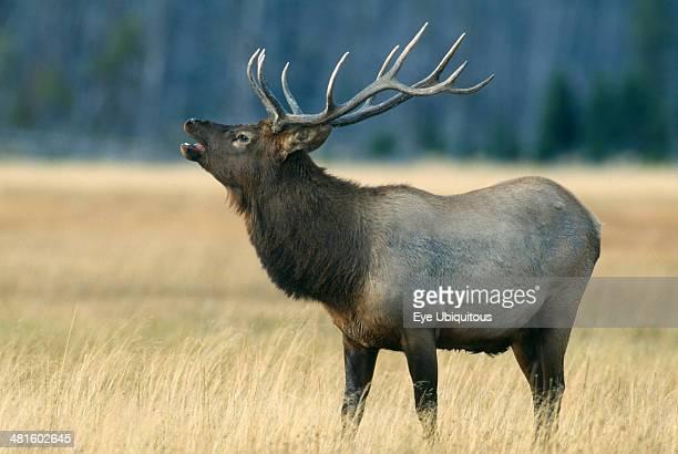 Wildlife Deer Elk Male Elk bugling in Yellowstone USA