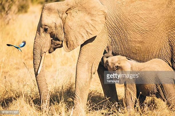 wildlife elephants in tanzania. - tanzania imagens e fotografias de stock