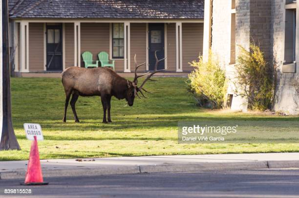wildlife elk herd in town mammoth wyoming - double arch stock pictures, royalty-free photos & images