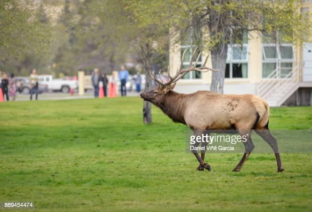 Wildlife elk in tMammoth Wyoming