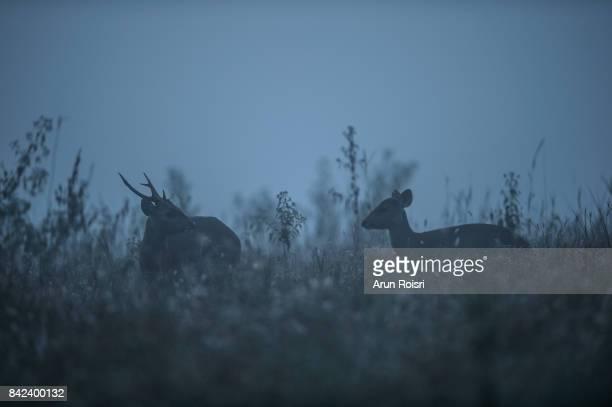 wildlife, hog-deer on wild background