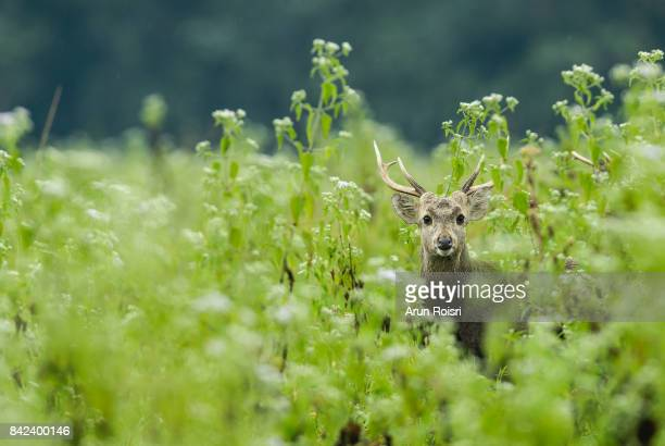 wildlife, hog-deer on wild background