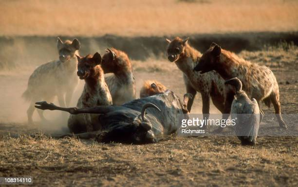 wildlife in serengeti - wild dog stock pictures, royalty-free photos & images
