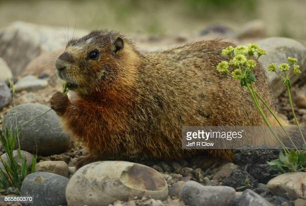 wildlife in wyoming - morning marmot - woodchuck stock pictures, royalty-free photos & images