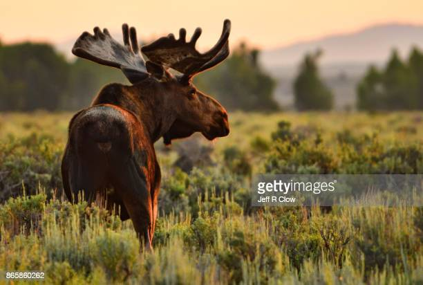 wildlife in wyoming - morning moose - jackson hole stock pictures, royalty-free photos & images