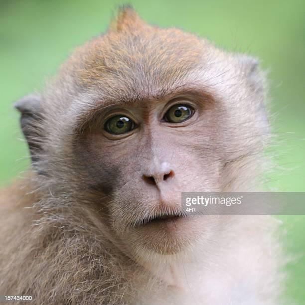 wildlife monkey portrait - khao sak national park - ugly monkey stock photos and pictures