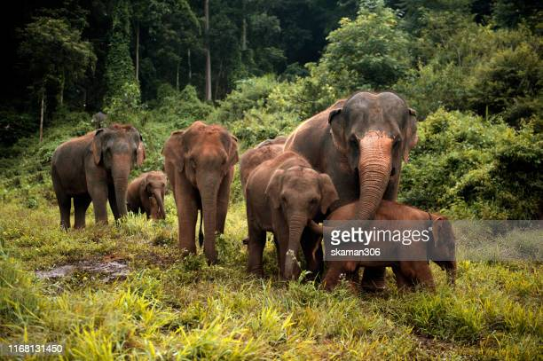 wildlife of asian elephants herd in the wild at northern thailand - asian elephant stock pictures, royalty-free photos & images