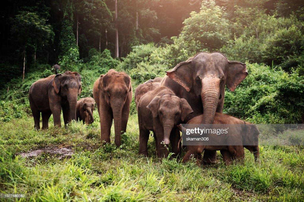 wildlife of asian elephants herd in the wild : Stock Photo