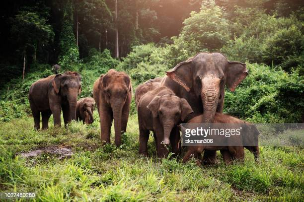 wildlife of asian elephants herd in the wild
