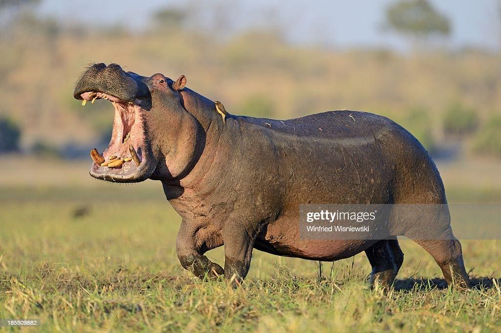 Wildlife of Chobe Natiobal Park : Stock Photo