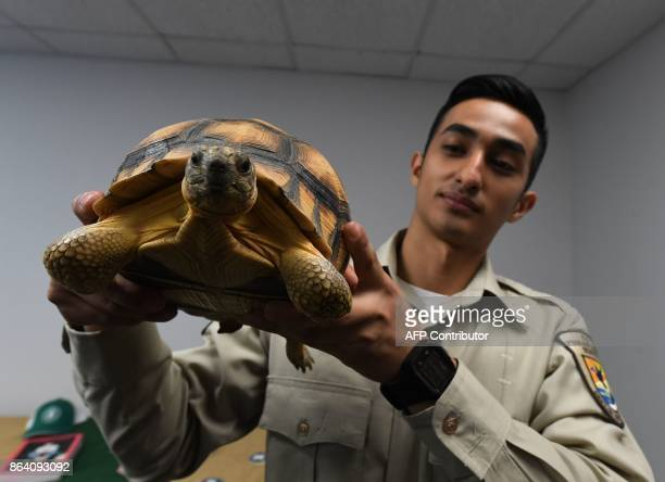 A wildlife officer holds a smuggled ploughshare tortoise from Madagascar one of the rarest tortoises in the world during an Operation Jungle Book...
