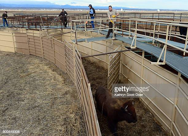Wildlife officials stand on a raised walkway and guide the bison through the shoots for their health check Officials from the US Fish and Wildlife...