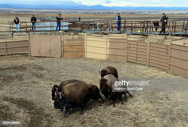 Wildlife officials stand on a raised walkway as the bison enter through a gate in to an open pen Officials from the US Fish and Wildlife Service...