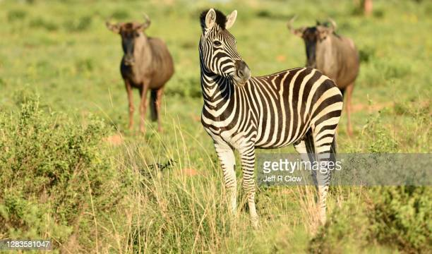 wildlife on a south africa photo safari - animated zebra stock pictures, royalty-free photos & images