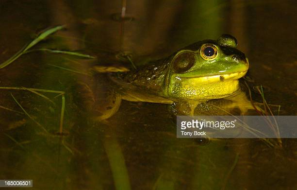 WILDLIFE 05/27/04 Wildlife on the Oakridges Moraine and Niagara Escarpment A bullfrog the largest of our frogs photographed at Terra Cotta...
