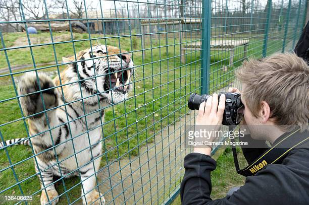 A wildlife photographer taking pictures of a male hybrid tiger on its hind legs at the Wildlife Heritage Foundation near Ashford Kent on December 23...