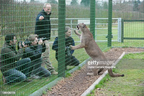 Wildlife photographers taking pictures of a female puma at the Wildlife Heritage Foundation near Ashford Kent on December 23 2008