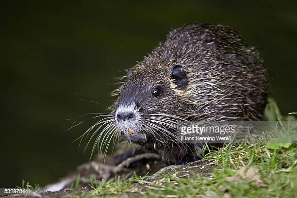 wildlife - nutria foto e immagini stock