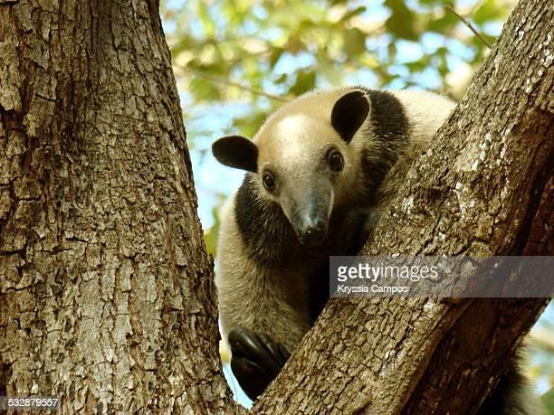 wildlife - tamandua anteater stock pictures, royalty-free photos & images