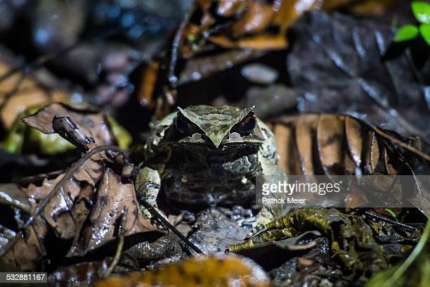 wildlife - horned frog stock photos and pictures