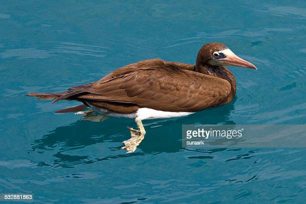 wildlife - brown booby stock pictures, royalty-free photos & images