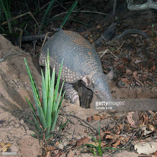 wildlife - armadillo stock pictures, royalty-free photos & images