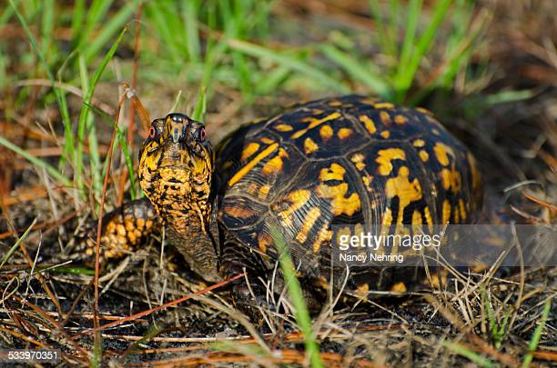 wildlife - box turtle stock photos and pictures
