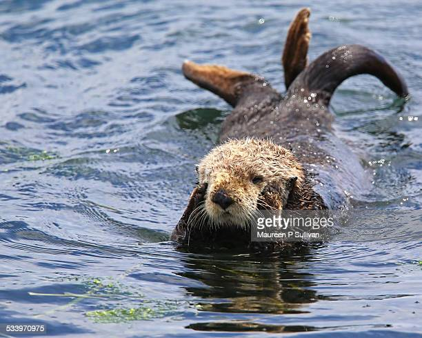 wildlife - sea otter stock photos and pictures