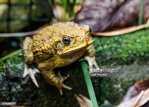 wildlife - cane toad stock pictures, royalty-free photos & images