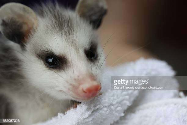 wildlife - opossum stock pictures, royalty-free photos & images